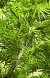 Folhas do bambu na floresta da selva de Tailândia do sul Fotografia de Stock