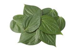 Folhas do betle do gaiteiro Foto de Stock Royalty Free