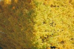 Folhas do biloba do Ginkgo Fotos de Stock Royalty Free