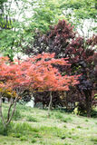 Folhas do bordo (palmatum Thunb de Acer) Imagens de Stock