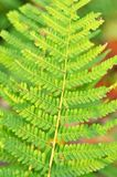 Folhas do bracken do Fern Fotografia de Stock