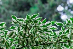 Folhas do branco e do verde Imagens de Stock Royalty Free