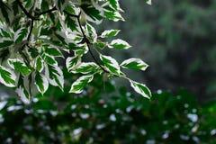 Folhas do branco e do verde Imagem de Stock Royalty Free