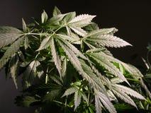 Folhas do cânhamo Fotografia de Stock