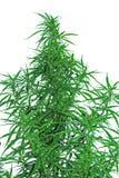 Folhas do cânhamo Imagens de Stock