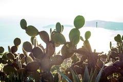 Folhas do cacto Planta exterior Fotografia de Stock Royalty Free