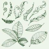 Folhas do café e do fern Imagens de Stock Royalty Free