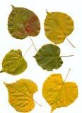Folhas do cal Imagem de Stock