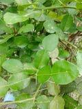 Folhas do cal de Kiffir imagens de stock