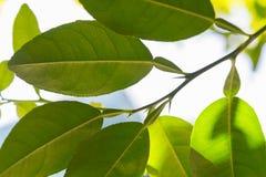 Folhas do cal do Kaffir Imagem de Stock