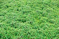 Folhas do campo da mandioca Imagem de Stock Royalty Free