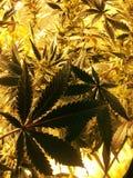 Folhas do cannabis fotografia de stock