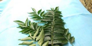 Folhas do caril Imagem de Stock
