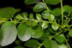 Folhas do caril no fundo preto fotografia de stock