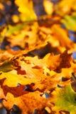 Folhas do carvalho foto de stock