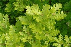 Folhas do carvalho Foto de Stock Royalty Free