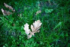 Folhas do carvalho Fotos de Stock Royalty Free