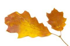 Folhas do carvalho Fotografia de Stock