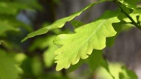 Folhas do carvalho video estoque