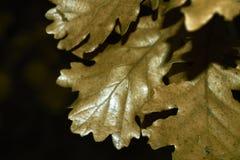 Folhas do carvalho Fotos de Stock