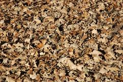 Folhas do carvalho Imagens de Stock