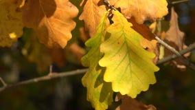 Folhas do carvalho amarelo 4K video estoque