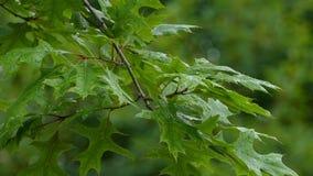Folhas do carvalho após a chuva video estoque