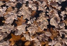 Folhas do carvalho de Brown com gotas da água Fotografia de Stock