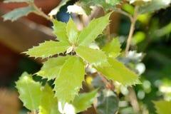 Folhas do carvalho de cortiça fotografia de stock royalty free