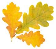 Folhas do carvalho do outono isoladas no branco Fotografia de Stock Royalty Free