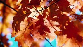 Folhas do carvalho do outono que balançam no vento vídeos de arquivo