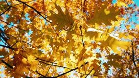 Folhas do carvalho do outono que balançam no vento filme
