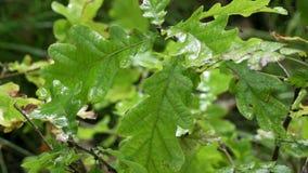 Folhas do carvalho em gotas da chuva filme