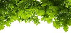 Folhas do carvalho isoladas Fotografia de Stock
