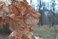 Folhas do carvalho nas estações de outono-inverno da floresta Fotos de Stock