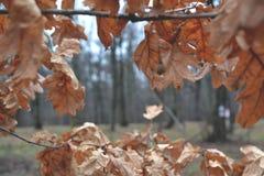 Folhas do carvalho nas estações de outono-inverno da floresta Imagem de Stock