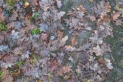 Folhas do carvalho nas estações de outono-inverno da floresta Imagem de Stock Royalty Free