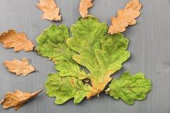 Folhas do carvalho no fundo cinzento de madeira filme