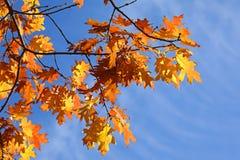 Folhas do carvalho no outono Fotos de Stock Royalty Free