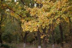 Folhas do carvalho no outono fora Imagens de Stock Royalty Free