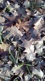Folhas do carvalho no parque do outono fotografia de stock