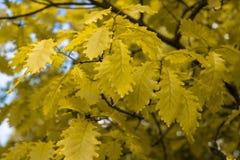 Folhas do carvalho O carvalho da mola folheia na luz solar brilhante imagens de stock royalty free