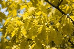 Folhas do carvalho O carvalho da mola folheia na luz solar brilhante fotos de stock
