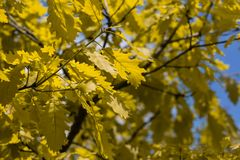 Folhas do carvalho O carvalho da mola folheia na luz solar brilhante foto de stock