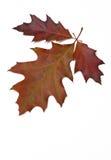 Folhas do carvalho vermelho Fotografia de Stock Royalty Free