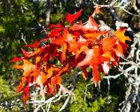 Folhas do carvalho vermelho de Texas Imagens de Stock