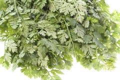 Folhas do cerefólio isoladas Fotos de Stock Royalty Free