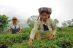 Folhas do chá da picareta das mulheres, Darjeeling, India imagens de stock royalty free