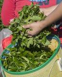 Folhas do chá nas mãos do fazendeiro Fotografia de Stock