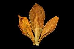 Folhas do cigarro Imagens de Stock